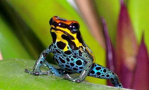 箭毒蛙是世界上最毒两栖动物
