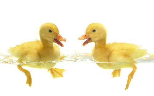 为什么鸭子冬天不怕冷?